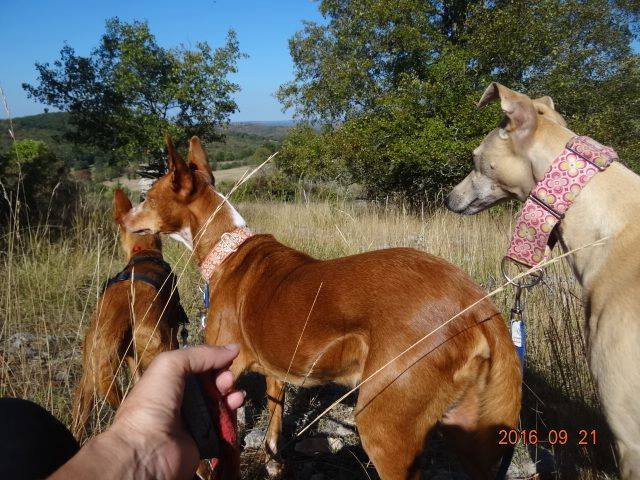 WIND , podenco tendresse 3 ans /  en accueil Wind_110