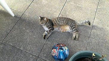 Lary chaton tigré, né le 20/08/2015 14169510