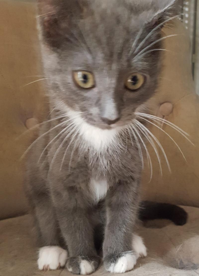 mojito - Mojito, chaton européen bleu et blanc, né le 15/06/2016 20160914
