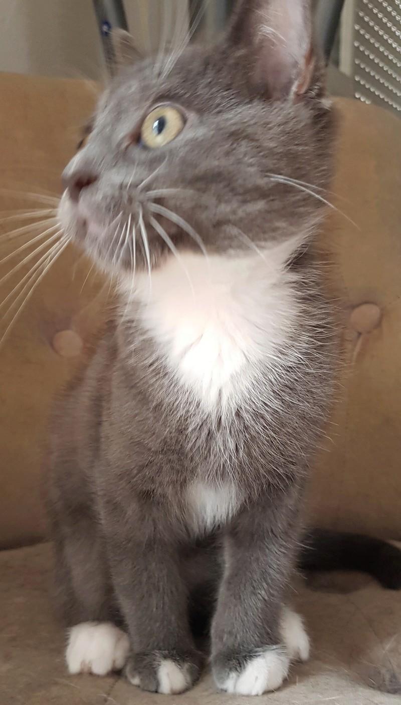 mojito - Mojito, chaton européen bleu et blanc, né le 15/06/2016 20160915