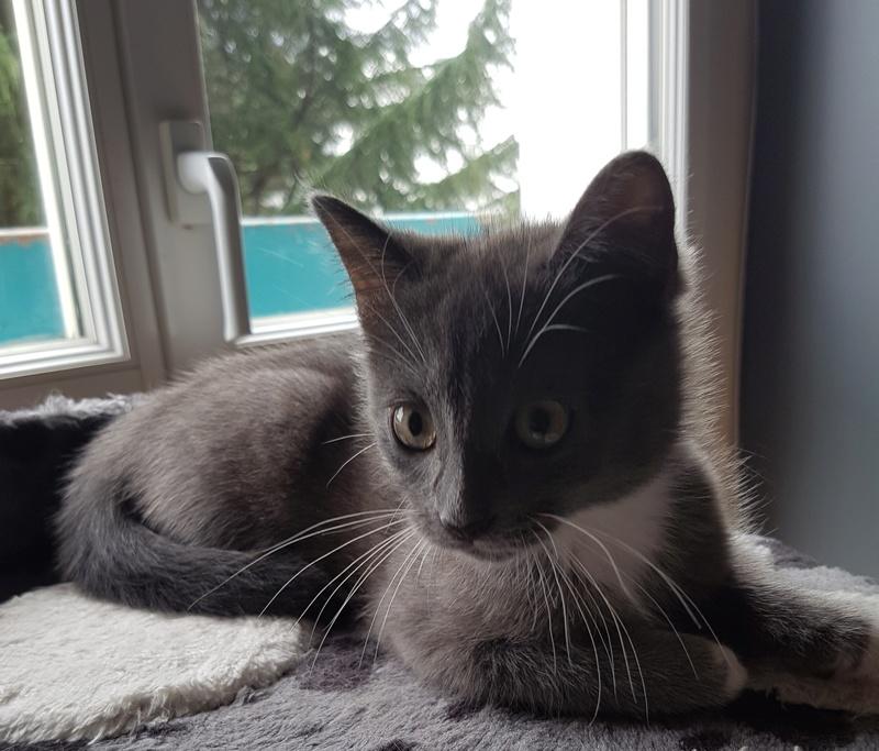 mojito - Mojito, chaton européen bleu et blanc, né le 15/06/2016 20160916
