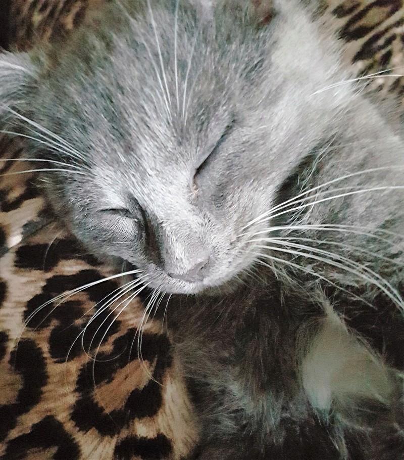 mojito - Mojito, chaton européen bleu et blanc, né le 15/06/2016 20160917