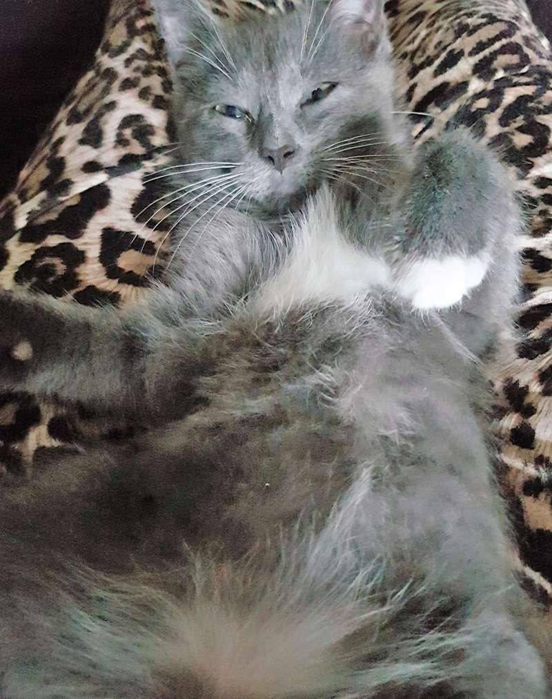 mojito - Mojito, chaton européen bleu et blanc, né le 15/06/2016 20160920
