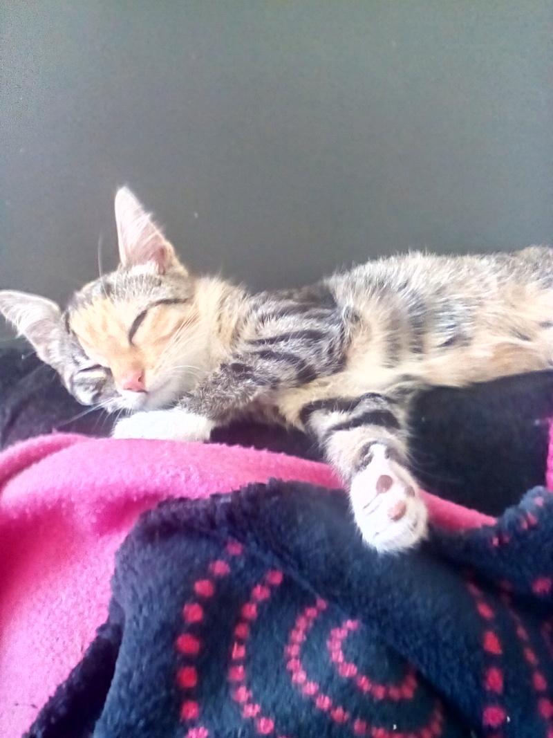 MOLLY, chatonne européenne tricolore, née le 15/04/16 Img_2014