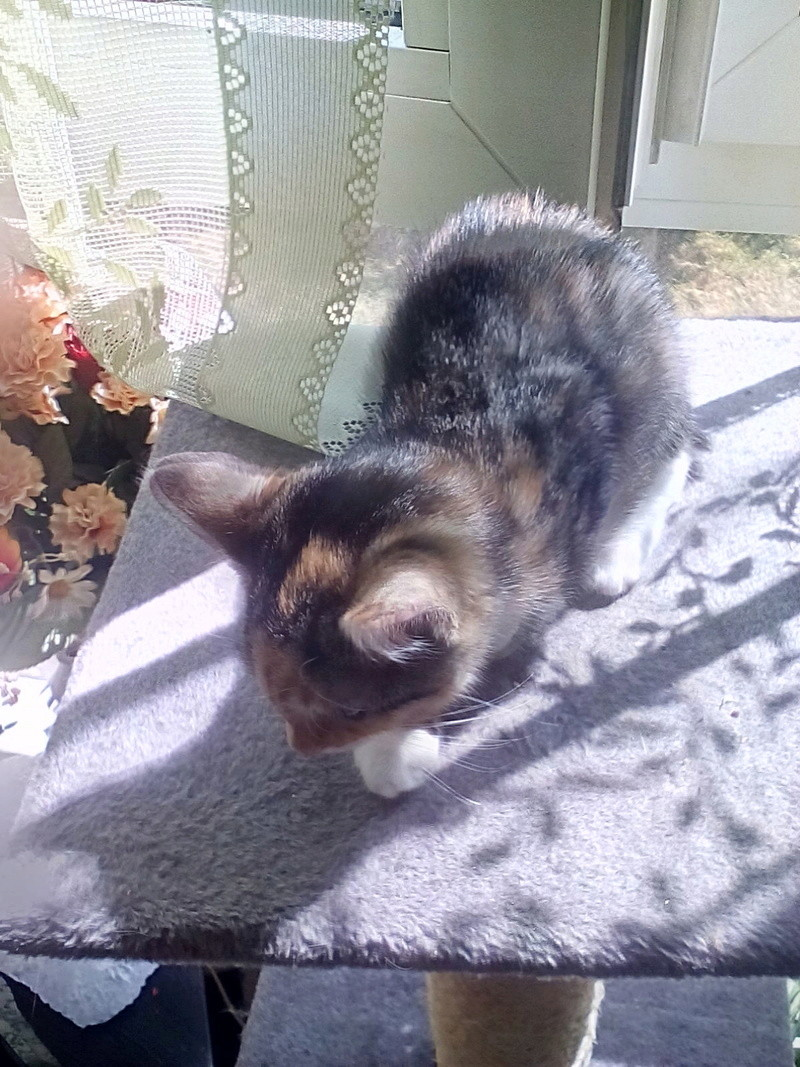 MOLLY, chatonne européenne tricolore, née le 15/04/16 Img_2015