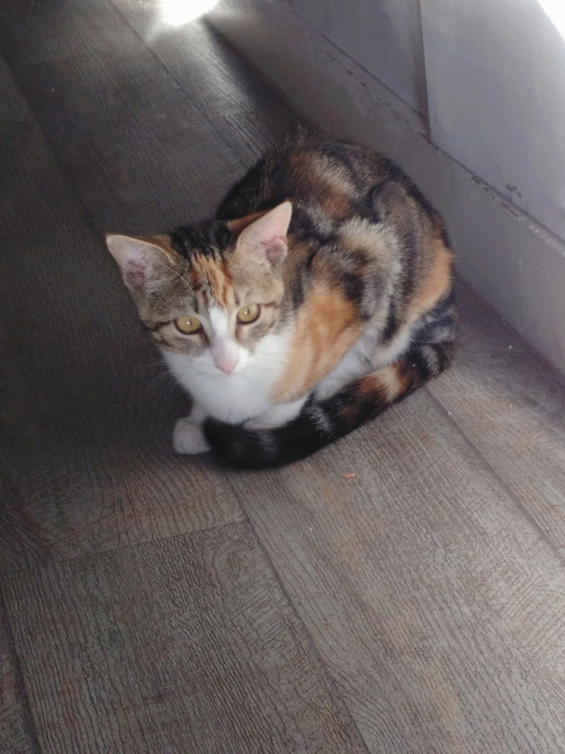 maeva - Maeva, chatonne tricolore, née le 20/05/2016 Img_2020