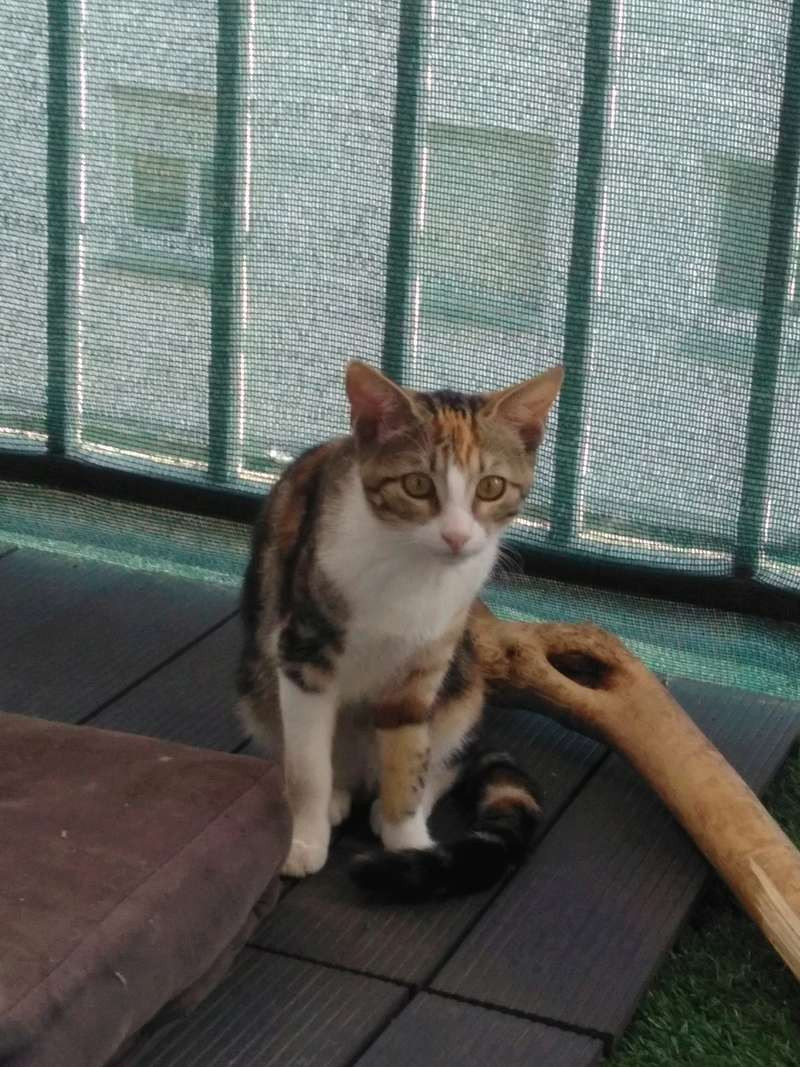 maeva - Maeva, chatonne tricolore, née le 20/05/2016 Img_2025
