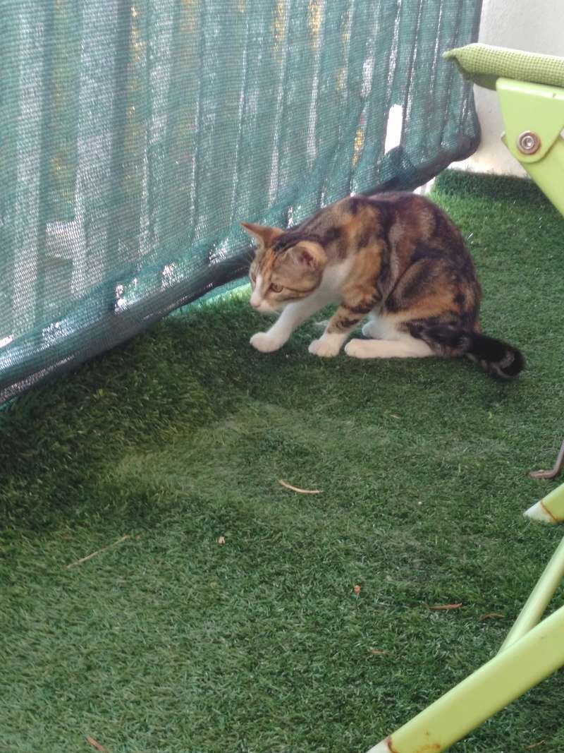 maeva - Maeva, chatonne tricolore, née le 20/05/2016 Img_2026
