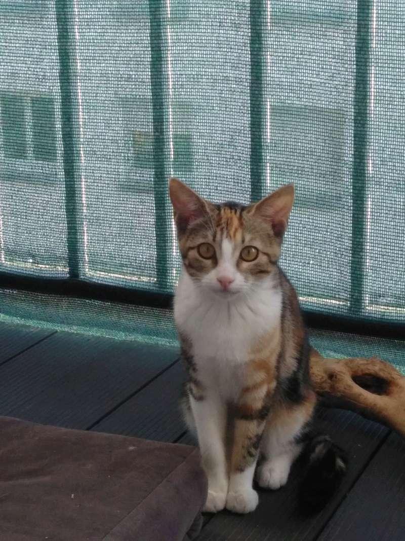 maeva - Maeva, chatonne tricolore, née le 20/05/2016 Img_2027