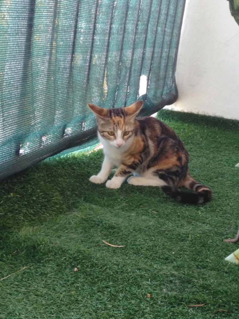 maeva - Maeva, chatonne tricolore, née le 20/05/2016 Img_2028