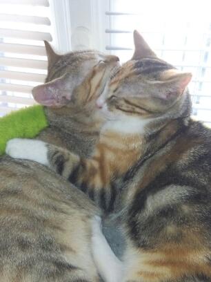 mangue - Mangue, chatonne tigrée tricolore, née le 20/05/2016 Mg_20110