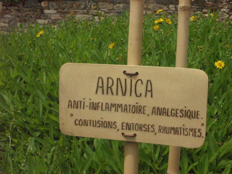 Arnica montana - arnica des montagnes Arnica10