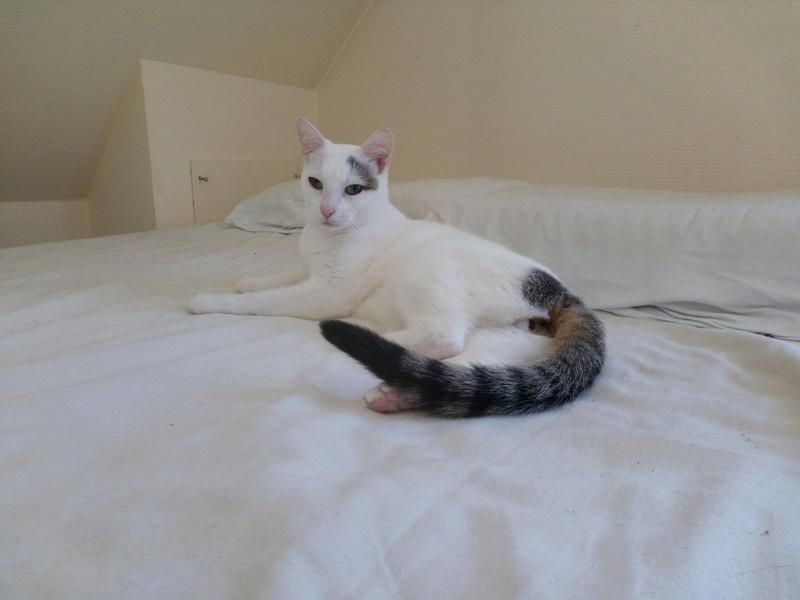 Liro - chaton blanc et tabby né le 15 Mai 2015 14241410