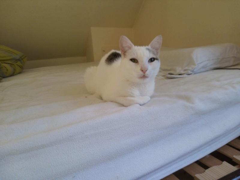 Liro - chaton blanc et tabby né le 15 Mai 2015 14242311