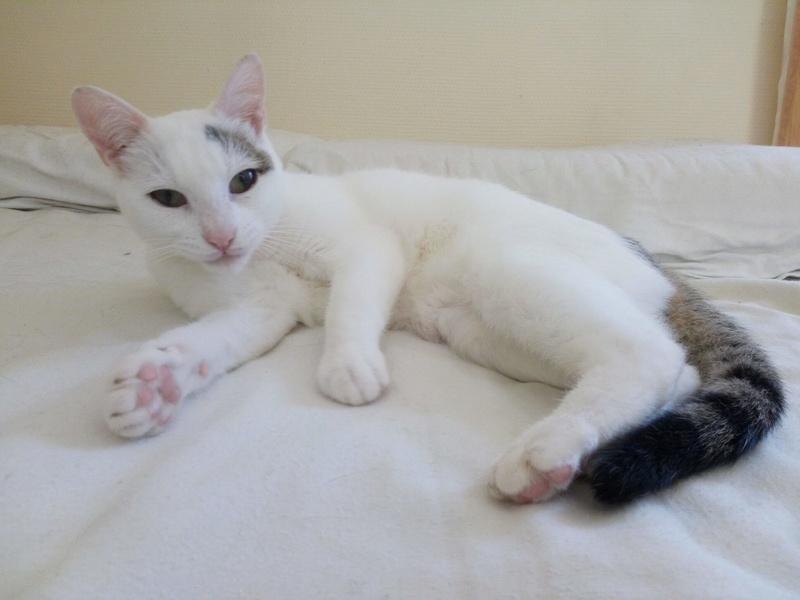 Liro - chaton blanc et tabby né le 15 Mai 2015 14257410