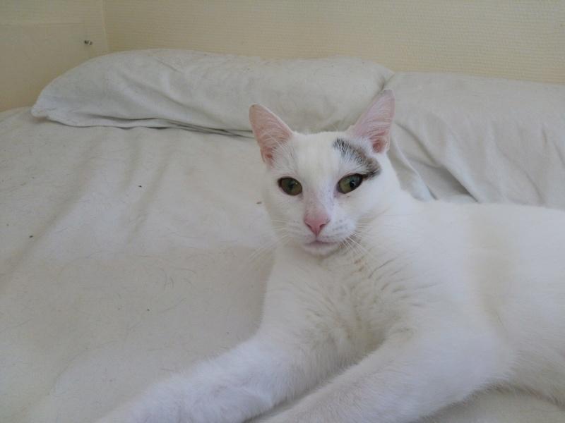 Liro - chaton blanc et tabby né le 15 Mai 2015 14289810