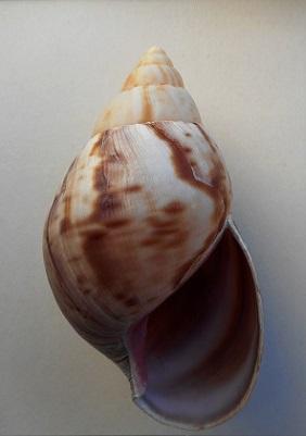 Lissachatina fulica (Férussac, 1821)  - Page 4 Dscn8513