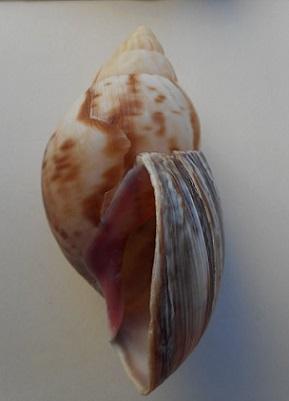 Lissachatina fulica (Férussac, 1821)  - Page 4 Dscn8514