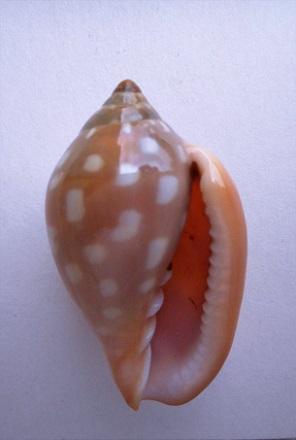 Marginella sebastiani - Marche-Marchad & Rosso, 1979 Dscn8620