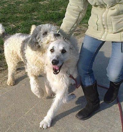 Onyx Croise Levrier Wolfhound A L Adoption A La Spa De Vau Le Penil