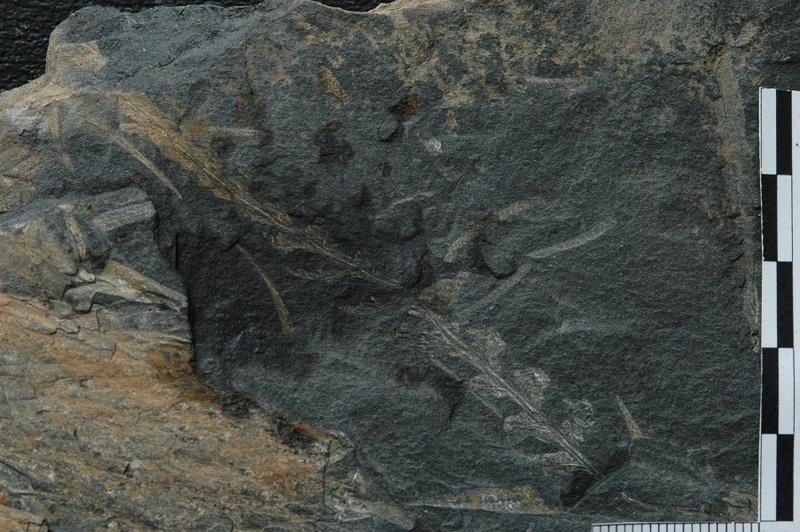Flore Carbonifère des Alpes Françaises part 1 - Page 4 Vol_1314