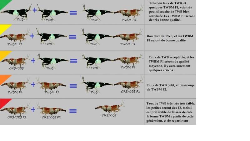 Article traitant des Taiwan bee mixte (TWBM) Twb10