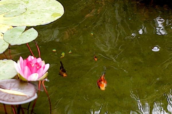 Bassin extérieur avec voiles de chine - Page 6 Dsc01821