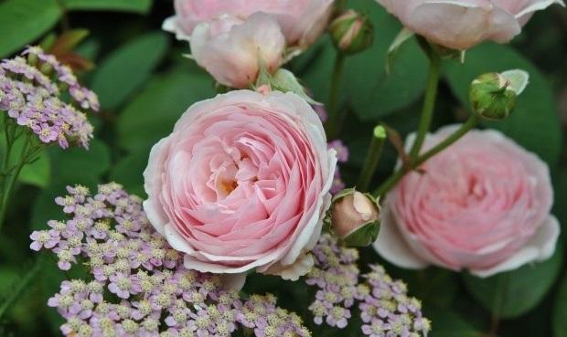 Vertus des roses Dsc_5710