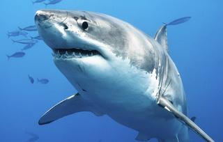 Discovery Tiger [ambassade Tigre en pays Zèbre] Shark-10