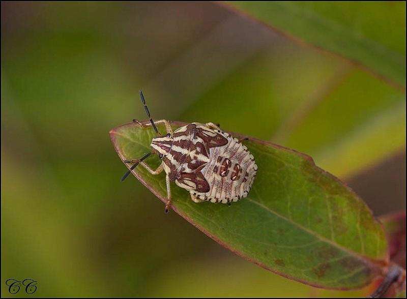 [24-Dordogne] Punaise à pattes rouge juvénile (Carpocoris purpureipennis) Img_3312