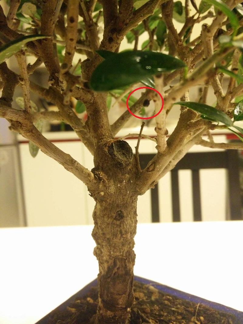 Bonsai di olivo e stile a scopa rovesciata 14087310