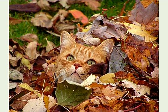 Poésie et textes Les chats et l' automne Chat-d10