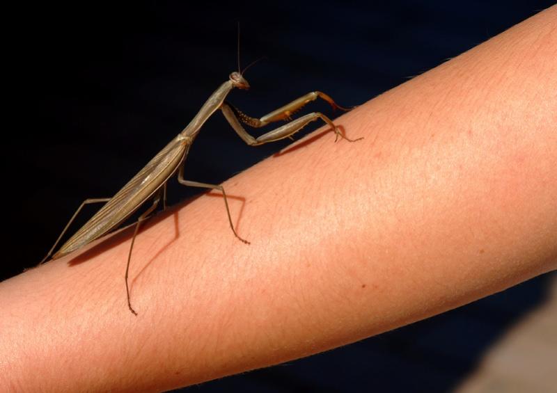 Mantis Mantis10