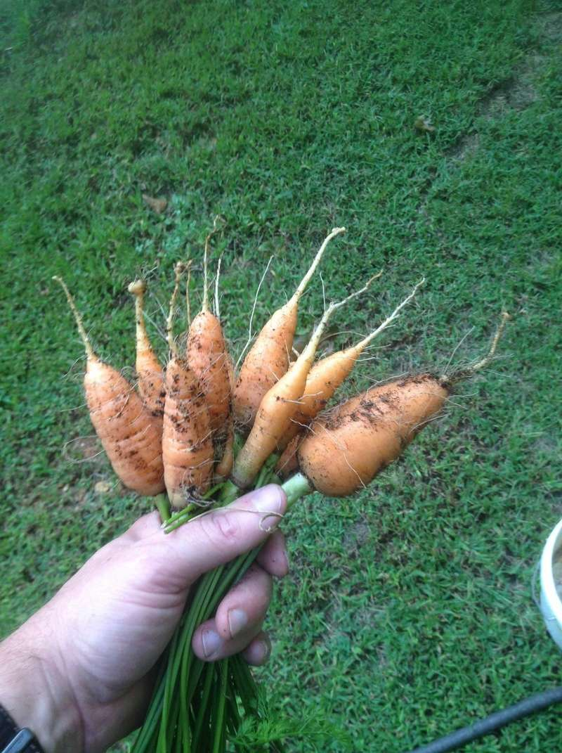 What are you eating from your garden today? - Page 38 Carrot10