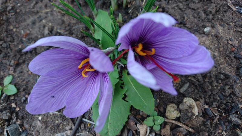 Schwertliliengewächse: Iris, Tigrida, Ixia, Sparaxis, Crocus, Freesia, Montbretie u.v.m. - Seite 14 Dsc_0531