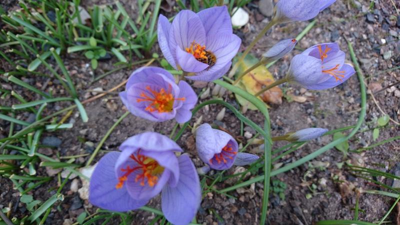 Schwertliliengewächse: Iris, Tigrida, Ixia, Sparaxis, Crocus, Freesia, Montbretie u.v.m. - Seite 14 Dsc_0532