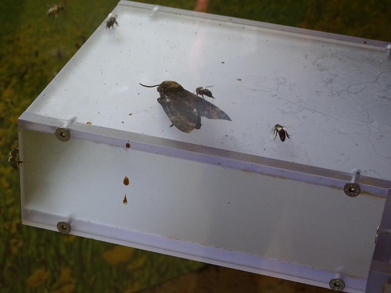 Élevage d'insectes pollinisateurs Dsc00610