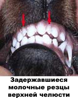 Недокус у собаки 1910