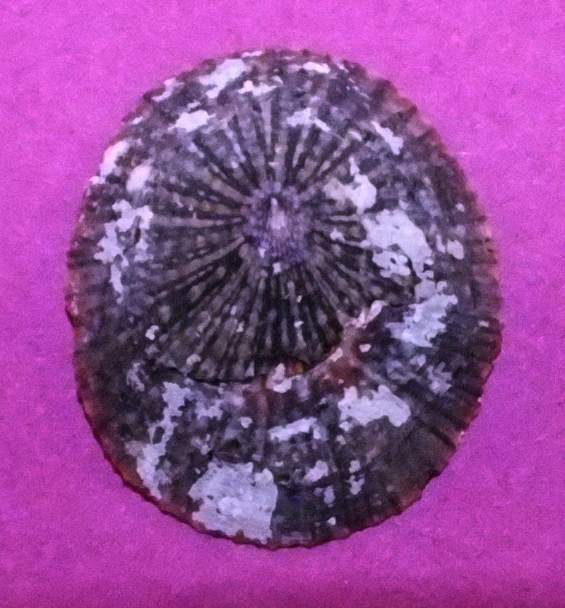 Lottidae - Lottia antillarum - G. B. Sowerby I, 1834 - Page 2 L1sup10