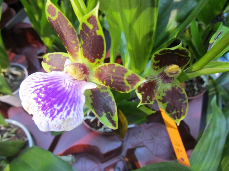 Orchideenausstellung in Frankfurt im Palmengarten 2016 - Seite 2 Img_0614
