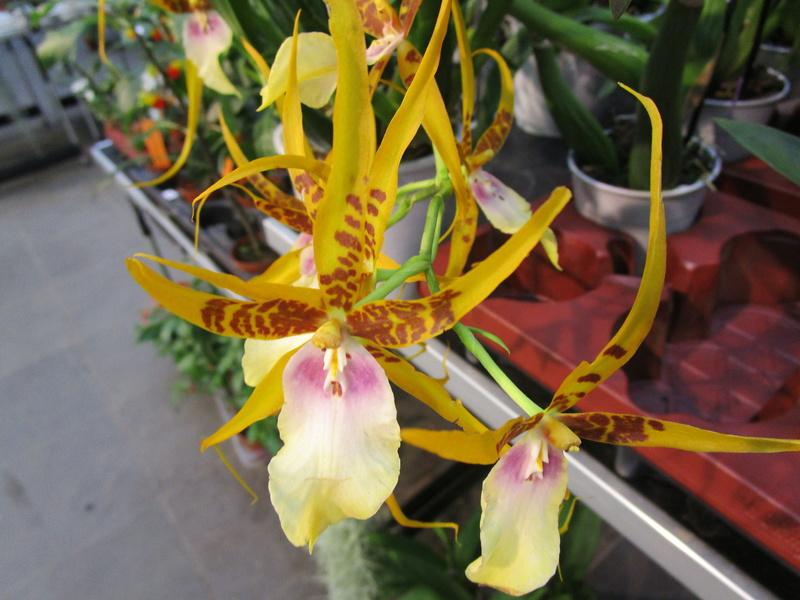 Orchideenausstellung in Frankfurt im Palmengarten 2016 - Seite 2 Img_0617