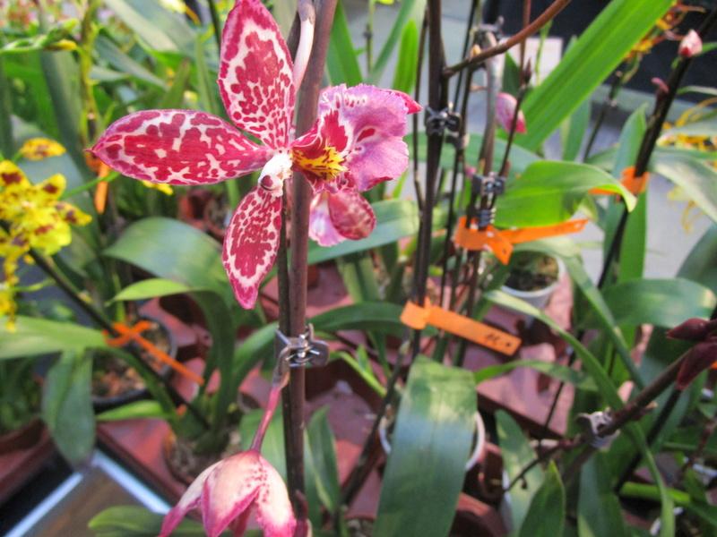 Orchideenausstellung in Frankfurt im Palmengarten 2016 - Seite 2 Img_0618