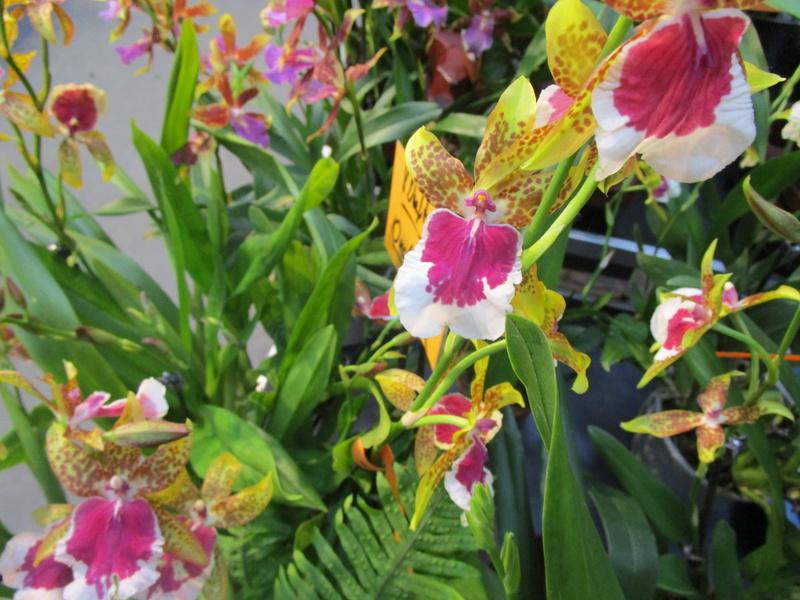 Orchideenausstellung in Frankfurt im Palmengarten 2016 - Seite 2 Img_0619