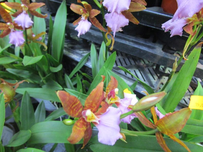 Orchideenausstellung in Frankfurt im Palmengarten 2016 - Seite 2 Img_0630