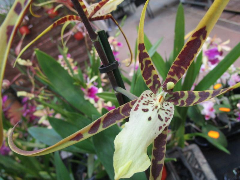 Orchideenausstellung in Frankfurt im Palmengarten 2016 - Seite 2 Img_0631