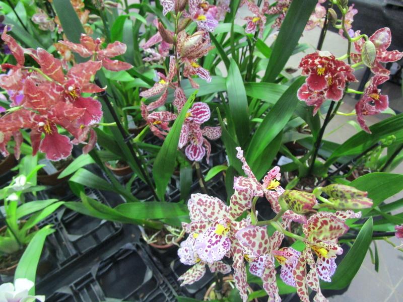 Orchideenausstellung in Frankfurt im Palmengarten 2016 - Seite 2 Img_0636