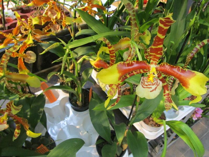 Orchideenausstellung in Frankfurt im Palmengarten 2016 - Seite 2 Img_0637