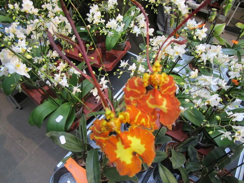 Orchideenausstellung in Frankfurt im Palmengarten 2016 - Seite 2 Img_0639