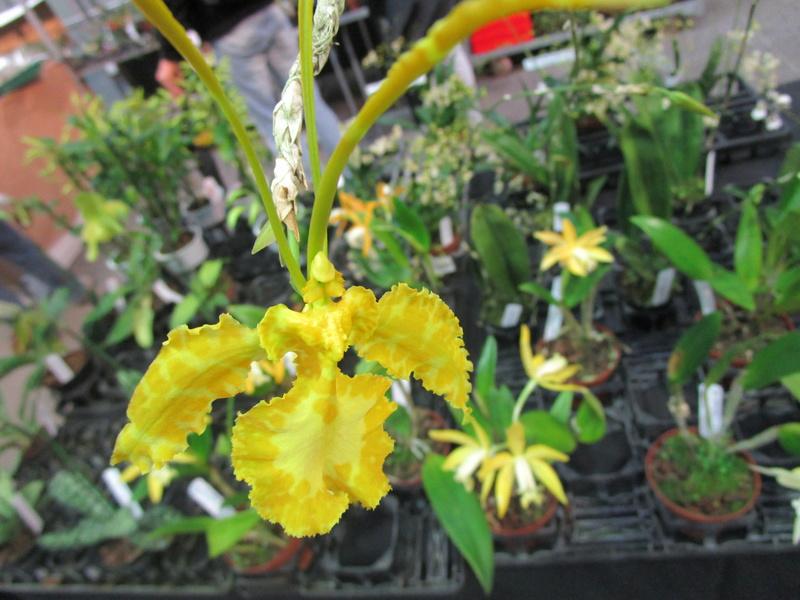 Orchideenausstellung in Frankfurt im Palmengarten 2016 - Seite 2 Img_0640