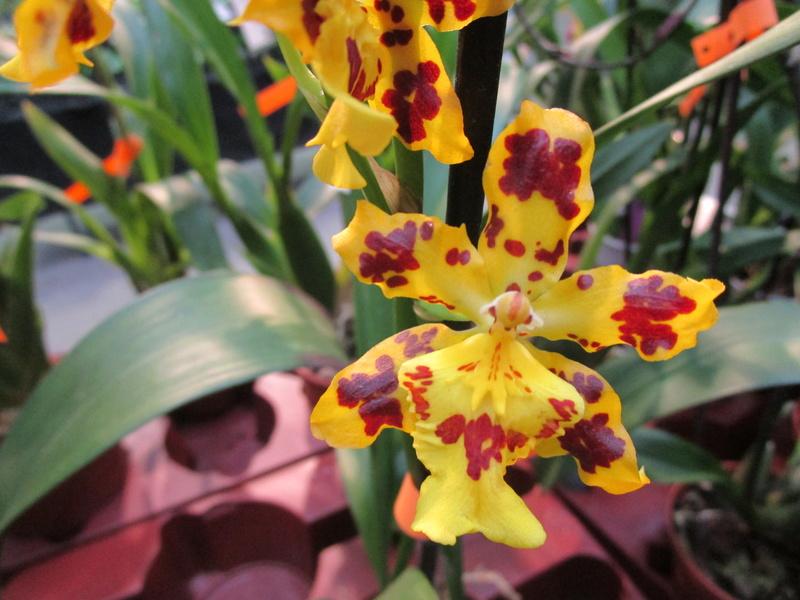 Orchideenausstellung in Frankfurt im Palmengarten 2016 - Seite 2 Img_0641